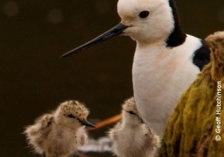 Geoff Hutchinson - Black winged Stilt & Chicks